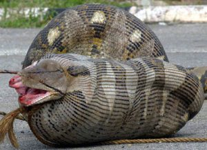 Python swallows pregnant sheep, National Geographic